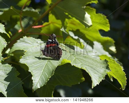a red admiral butterfly on sycamore leaf in summer