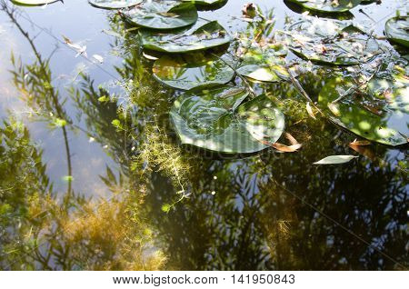Lily pads floating upon still water in a small nature preserve.