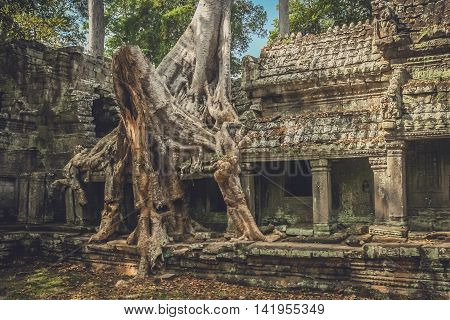 Huge tree engulfing a temple wall in one of the temples in Angkor Wat complex near Siem Reap in Cambodia
