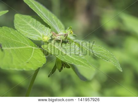 A green grasshopper perched on a green leaf .