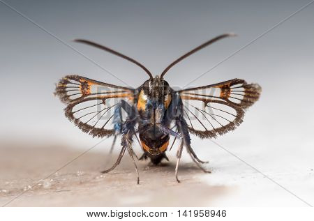 Red-tipped Clearwing moth (Synanthedon formicaeformis). Front or head-on view