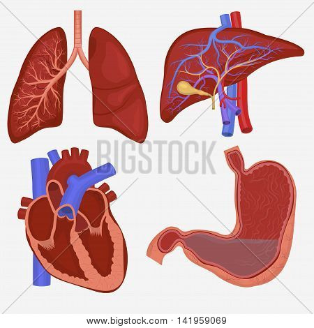 Human internal organs set. Lungs, Liver, Stomach and Heart anatomy. Vector illustration