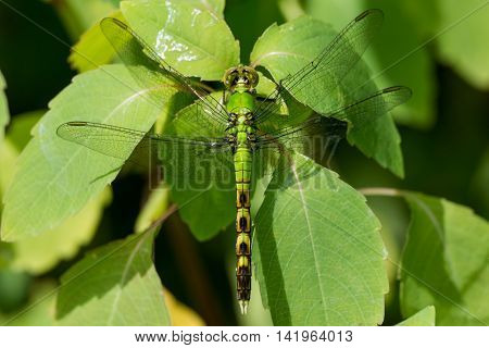 Young male Eastern Pondhawk Erythemis simplicicollis perched on some leaves.