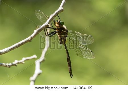 Hine's Emerald Dragonfly hanging from a branch in Door County Wisconsin.