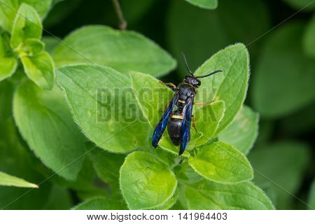 Potter Wasp on a plant in Wisconsin.