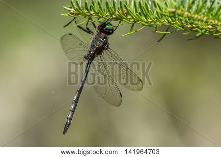 Williamson's Emerald Dragonfly hanging from a branch in Door County Wisconsin.