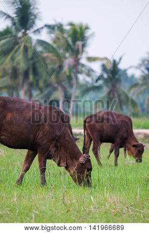 cows in field countryside outdoor lanscape thailand