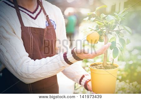 Closeup of small mandarine tree in orange pot with one ripe tangerine holded by man gardener