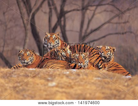 Tiger resting in a field