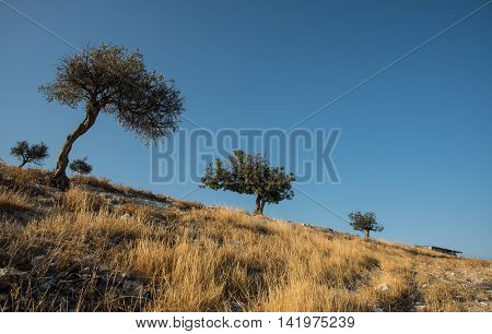 Olive trees standing at the of a hill and blue clear sky