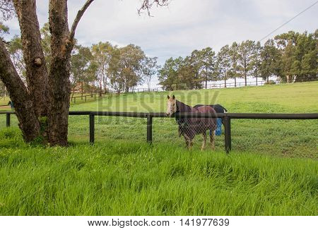 Horse at fence line in green grass pasture wearing a purple winter blanket in agricultural farmland in the Swan Valley in Western Australia