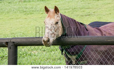Strawberry blond horse with cream coat and markings wearing a purple winter blanket by fence in agricultural farmland in the Swan Valley in Western Australia