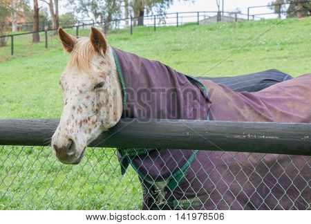 Closeup of cream horse with muzzle markings and strawberry blond mane leaning over fence railing in agricultural farmland in the Swan Valley in Western Australia