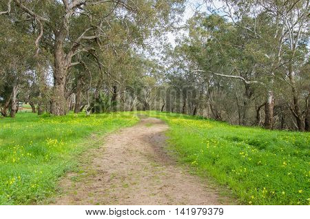 Peaceful path through wooded landscape with bright green grass and native yellow wildflowers in the Swan Valley in Western Australia.
