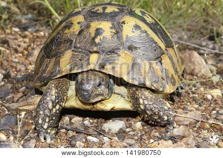 Portrait of Hermann's tortoise Testudo hermanni in grass