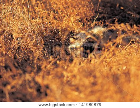 Raccoon in the bushes