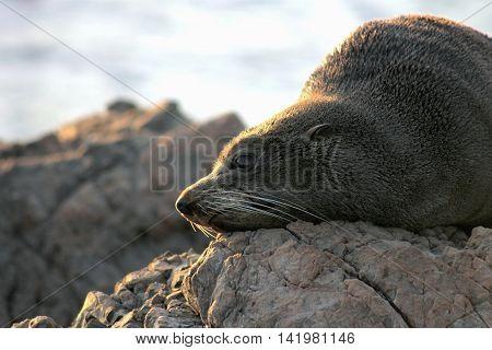 Close up of a New Zealand Fur Seal