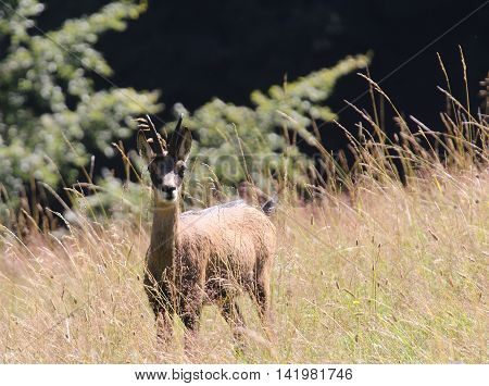 Young Chamois In The Grass In The Mountains In Summer