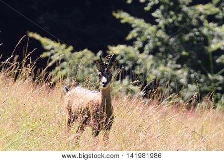 Young Chamois Among The Tall Grass