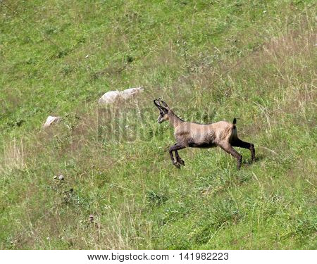 Chamois Runs On The Grass In The Mountains
