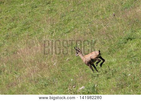 Fast Chamois Runs On The Grass In The Mountains