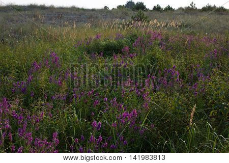 Clusters Of Loosestrifes In Field. Medical Grassland. Lythrum Salicaria