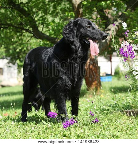 Amazing Flat Coated Retriever In The Garden