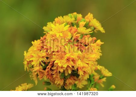 bright yellow inflorescence of field flower stands out in a meadow and attracts strolling couples. Ladies like to collect these flowers and make bouquets
