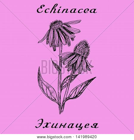 Echinacea hand drawn sketch botanical illustration. Vector drawing. Medical herbs. Lettering in English and Russian
