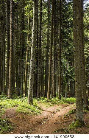 the spruce forest in the Ukrainian Carpathians