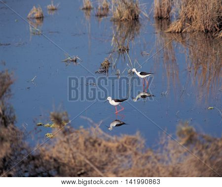 Two snipe in a marsh