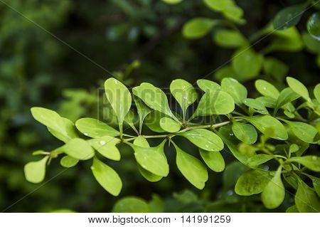 close-up leaves of barberry bush at summer