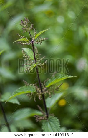 close-up of the branch of blossoming nettle