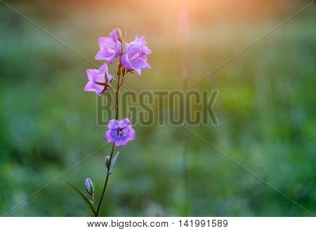 Wild flowers bluebells in the rays of the evening sunset