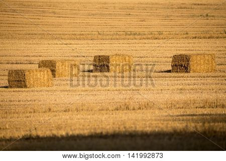 Harvested Field With Straw Lines