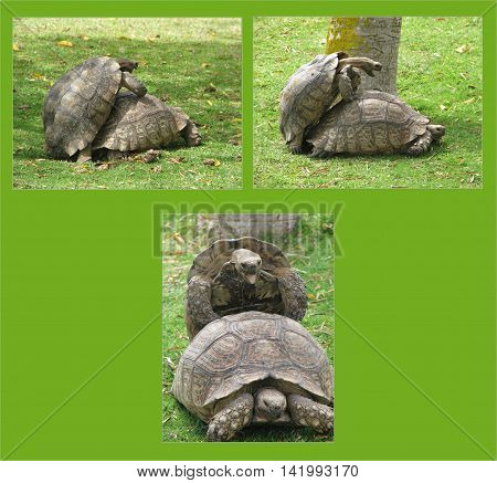 Male And Female Tortoises Copulating 02 b