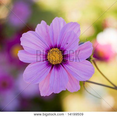 Cosmos Flower (cosmos Bipinnatus)