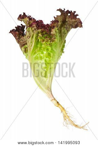 Lollo Rosso lettuce with roots isolated on white background