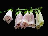 stock photo of digitalis  - foxglove flowers with raindrops - JPG