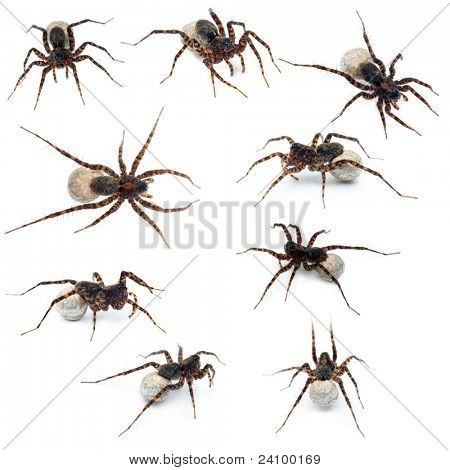 Collage of Female Pardosa lugubris carrying her egg-sac in front of white background