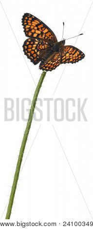 Knapweed Fritillary, Melitaea phoebe, on flower stem in front of white background
