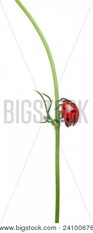 Seven-spot ladybird or seven-spot ladybug on a daisy, Coccinella septempunctata, in front of white background