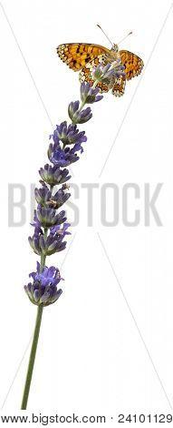 Knapweed Fritillary, Melitaea phoebe, on lavender flower in front of white background