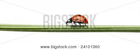 Seven-spot ladybird or seven-spot ladybug, Coccinella septempunctata, on plant stem in front of white background