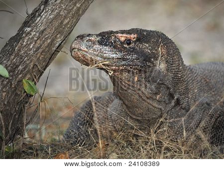 Close-up Of Komodo Dragon