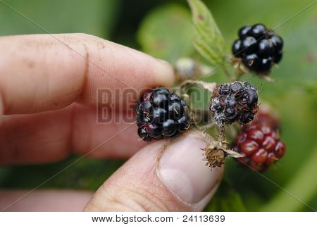 Mans Hand Picking Blackberries.