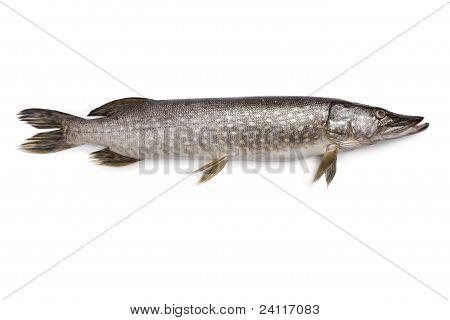 Peixe fresco Lúcio