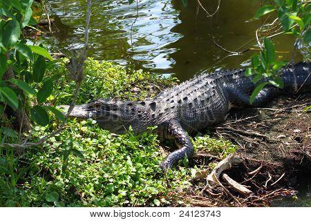 amerikanische Alligator (Alligator Mississippiensis)