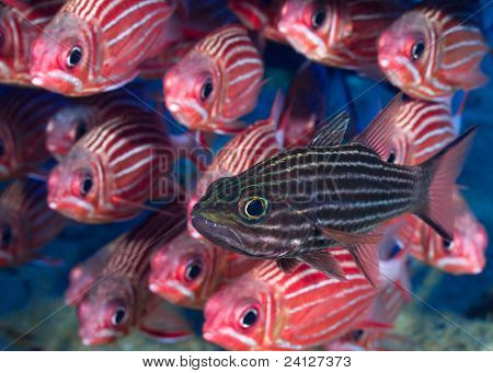Cardinal fish in front of school of squirrel fishes.