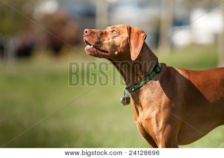 Vizsla Dog Looks Towards The Sky